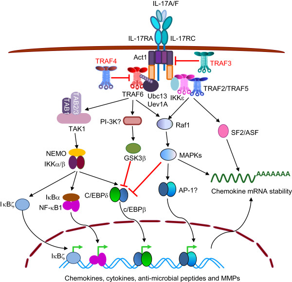 TRAF molecules in cell signaling and in human diseases